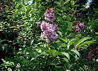 Syringa-josikaea-flowering