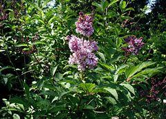 Syringa-josikaea-flowering.JPG