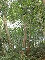 Syzygium jambos Roi.JPG