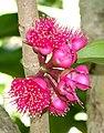 Syzygium malaccense - Naples Botanical Garden - Naples, Florida - DSC09784.jpg