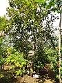 Syzygium malaccense - Sankyo Garden - DSC01163.JPG