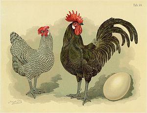 Bergische Schlotterkamm - Historical Illustration with a cuckoo hen and a black cock (Jean Bungartz, 1885)