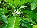 Tabernaemontana citrifolia (Apocynaceae).jpg