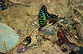 Tailed Jay (Graphium agamemnon) (14605528452).jpg