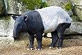 Tapirus indicus portrait 2.jpg