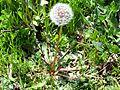 Taraxacum erythrospermum Habitus 2010-4-01 SierraMadrona.jpg