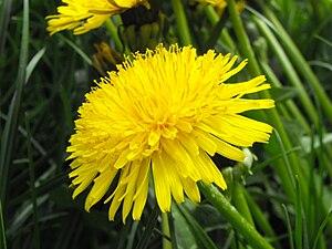 Taraxacum, family Asteraceae.
