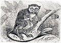 Tarsius tarsier from Brockhaus and Efron Encyclopedic Dictionary.jpg
