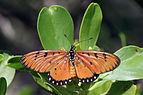 Tawny coster (Acraea terpsicore) I.jpg