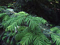Taxus baccata in Odessa Botanical garden 3.jpg