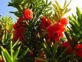 Taxus cuspidata IMG 4639.jpg