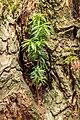 Taxus uitgezaaid in een knotwilg. 28-07-2019. (d.j.b). 05.jpg