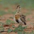 Temminck's courser, Cursorius temminckii, at Mapungubwe National Park, Limpopo Province, South Africa (31921735007).jpg