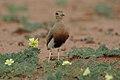 Temminck's courser, Cursorius temminckii, at Mapungubwe National Park, Limpopo Province, South Africa (31921736737).jpg