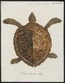 Testudo imbricata - 1700-1880 - Print - Iconographia Zoologica - Special Collections University of Amsterdam - UBA01 IZ11600241.tif