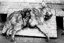 "Black and white photograph of a dead wolf with ""The Allendale Wolf"" written on the bottom"