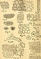 The American monthly microscopical journal (1883) (18132715136).jpg