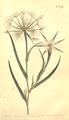 The Botanical Magazine, Plate 479 (Volume 14, 1800).png