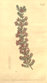 The Botanical Magazine, Plate 481 (Volume 14, 1800).png
