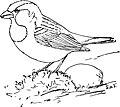 The English Sparrow-MBS 54.jpg