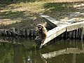 The Lar Gibbon (Hylobates lar). White-handed Gibbon - panoramio.jpg