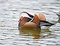 The Mandarin Duck of St. Ferdinand Park (44854324995).jpg