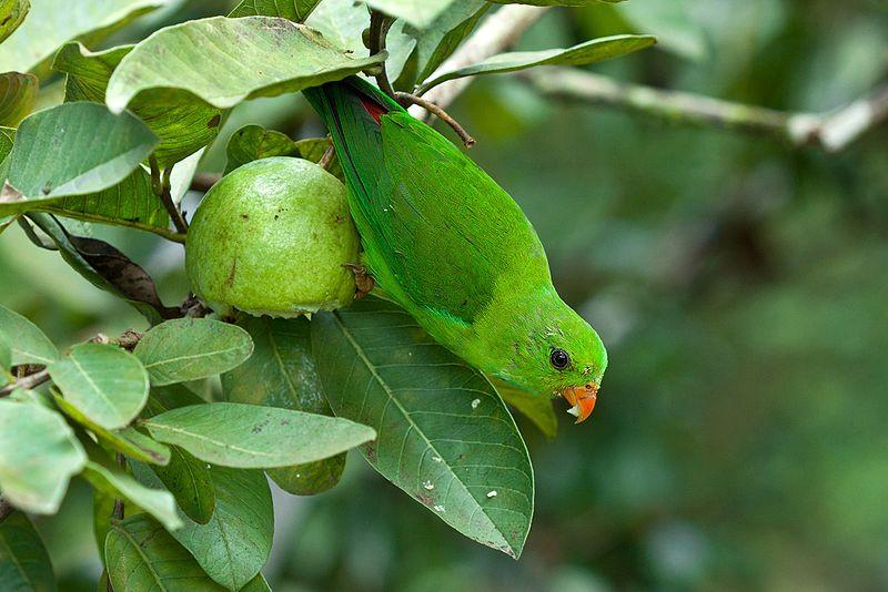 File:The Pesky Parrot - Vernal Hanging Parrot (9654098096).jpg