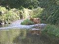 The River Erme - and a cow^ - geograph.org.uk - 49926.jpg
