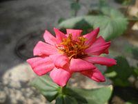 The Sweet pink Flower.jpg