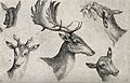 The heads of three hinds, one young male deer and a mature s Wellcome V0021542.jpg