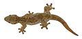 Thecadactylus oskrobapreinorum - ZooKeys-118-097-g004-e.jpg