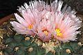Thelocactus rinconensis pm1.JPG