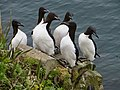 Thick-billed murres by Greg Thomson USFWS.jpg