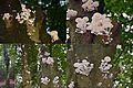 This beech is in 6 days totally covered by Oudemansiella mucida( GB= Porcelain Fungus, Syn. Poached Egg fungus, D= Buchenschleimrübling, F= Mucidule visqueuse, NL= Porseleinzwam) white spores and causes white rot. Comp - panoramio.jpg