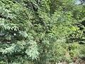 Thorn bush seemai-karuvai.jpg