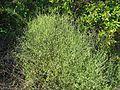 Thread-leafed chaff flower - Flickr - pellaea.jpg