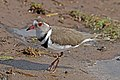 Three-banded plover (Charadrius tricollaris).jpg