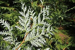 <i>Thuja koraiensis</i> species of plant