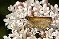 Thymelicus.lineola3.-.lindsey.jpg