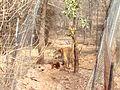 Tiger image42.jpg