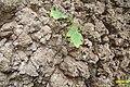 Tiny oak sapling (SG) (30566942276).jpg