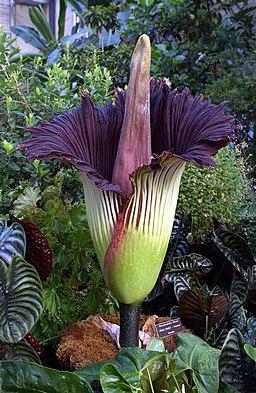 Titan-arum, corpse flower blooming,