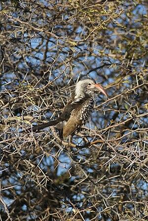Damara red-billed hornbill - Image: Tockus damarensis, Etosha