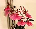 Tolumnia Jiaho Rainbow x Comparettia macroplectron -台南國際蘭展 Taiwan International Orchid Show- (40822575261).jpg