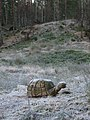 Tortoise - geograph.org.uk - 104279.jpg
