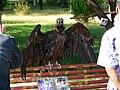 Toshkent Zoo vulture.jpg