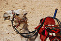 Tourist-industry camel, Palmyra, Syria.jpg