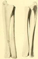 Trachodon (Pteropelyx) marginatus ulna and radius.png