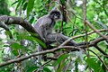 Trachypithecus crepusculus, Indochinese grey langur - Loei Province (31109170388).jpg