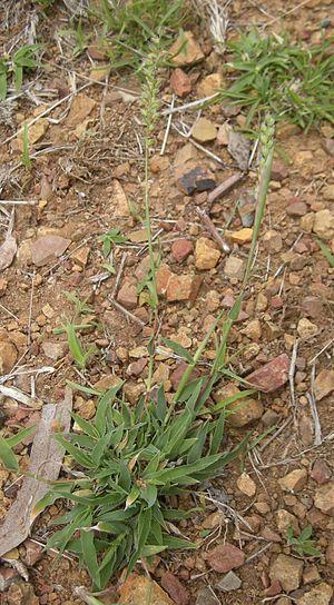 Tragus (plant) - Tragus australianus.